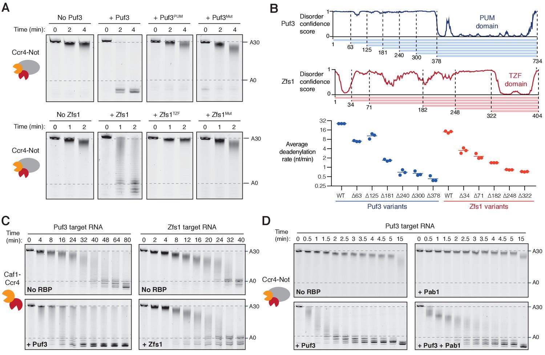 RNA-binding proteins distinguish between similar sequence