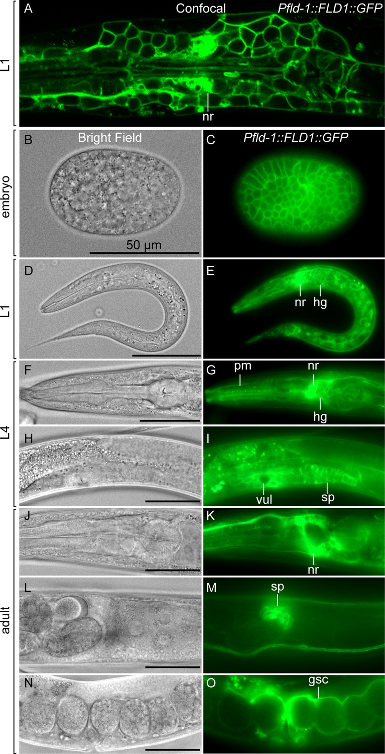 Membrane fluidity is regulated by the C  elegans