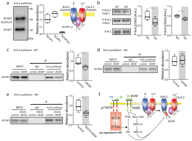 Mutant huntingtin enhances activation of dendritic Kv4 K+ channels