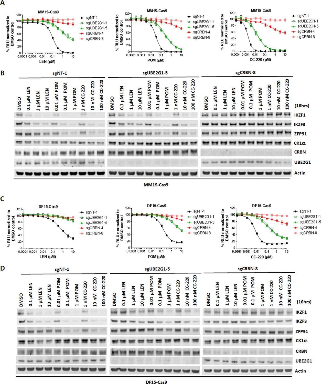 UBE2G1 governs the destruction of cereblon neomorphic