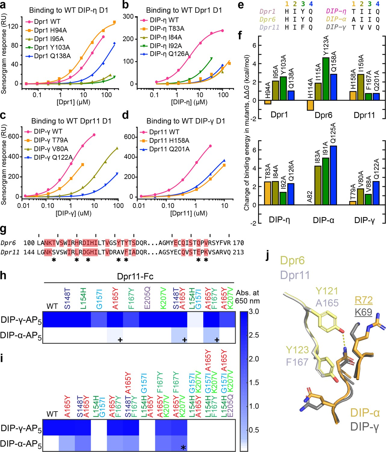 Molecular basis of synaptic specificity by immunoglobulin
