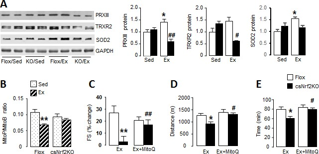 Myocardial NADPH oxidase-4 regulates the physiological response to