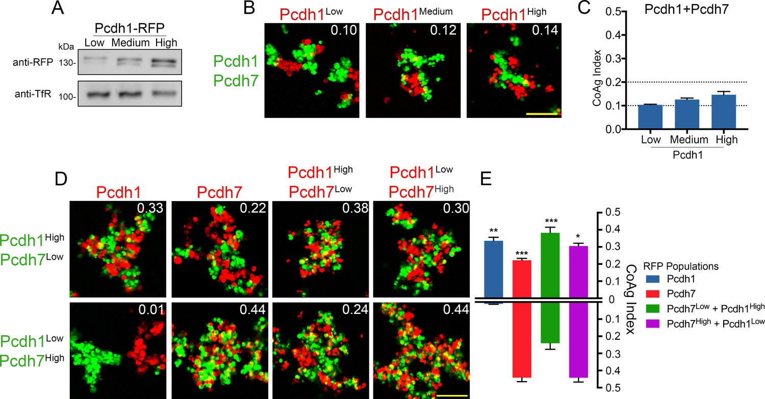 Tuning of delta-protocadherin adhesion through combinatorial