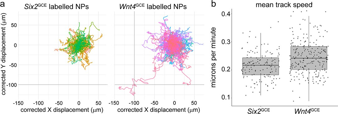 Nephron progenitor commitment is a stochastic process