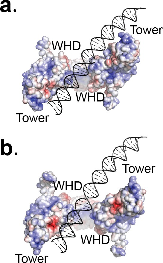 CryoEM structures of open dimers of gyrase A in complex with