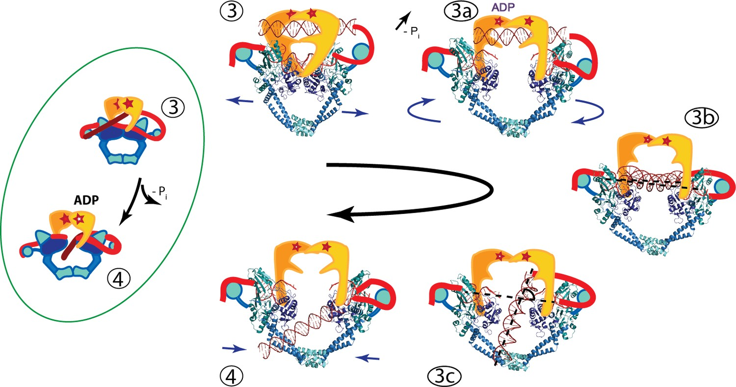 Cryoem Structures Of Open Dimers Of Gyrase A In Complex With Dna Illuminate Mechanism Of Strand Passage Elife The mechanism of dna replication. cryoem structures of open dimers of