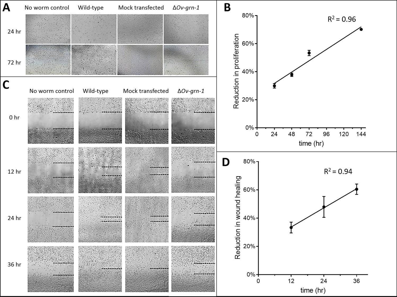 Programmed knockout mutation of liver fluke granulin