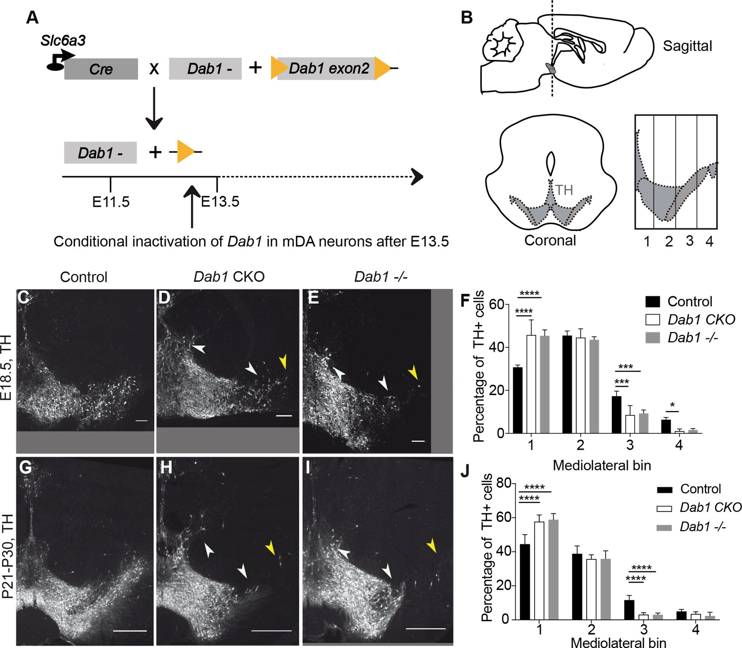 Correct setup of the substantia nigra requires Reelin-mediated fast on