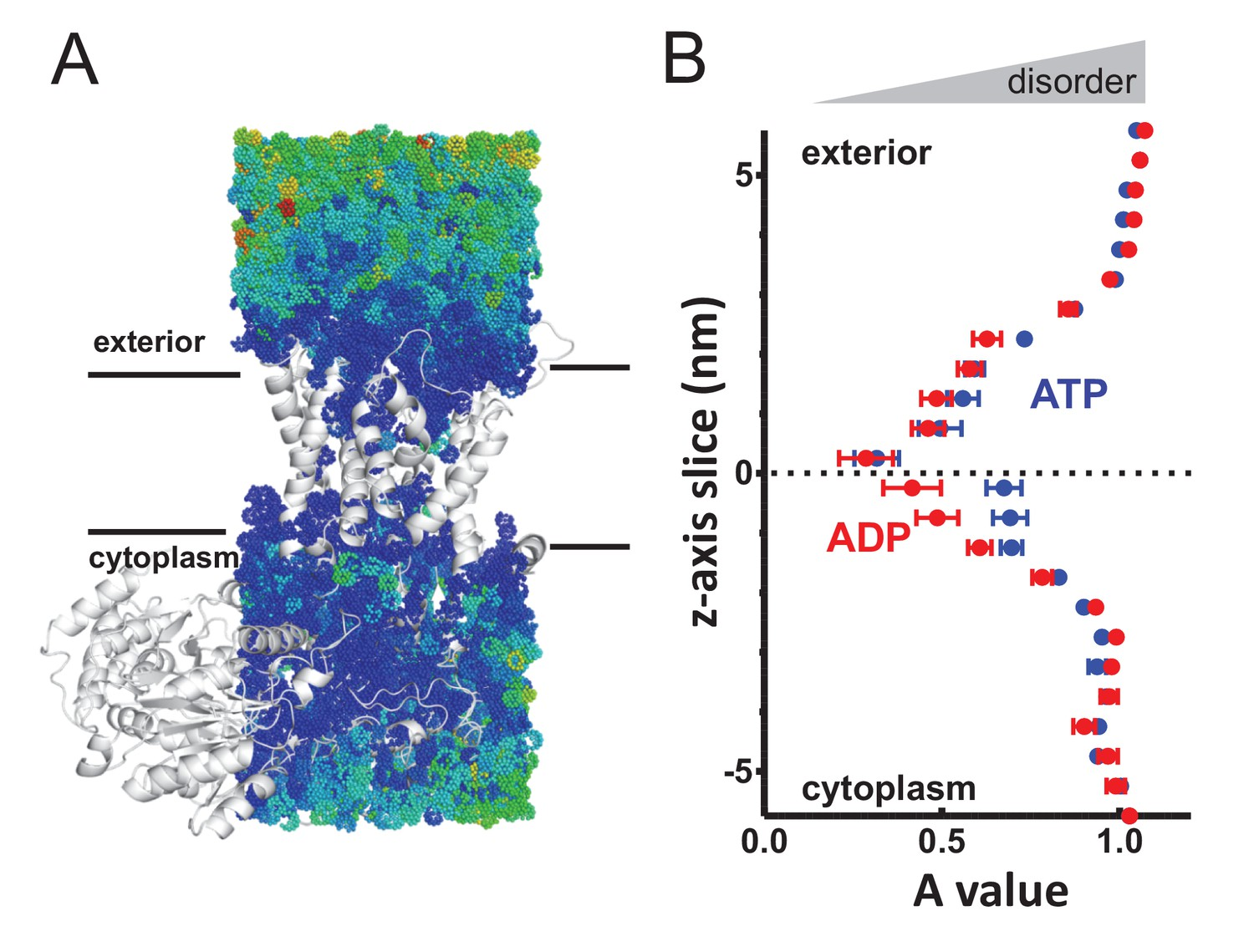 ATP-induced asymmetric pre-protein folding as a driver of
