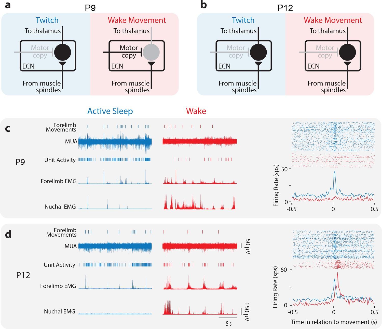 Developmental 'awakening' of primary motor cortex to the sensory