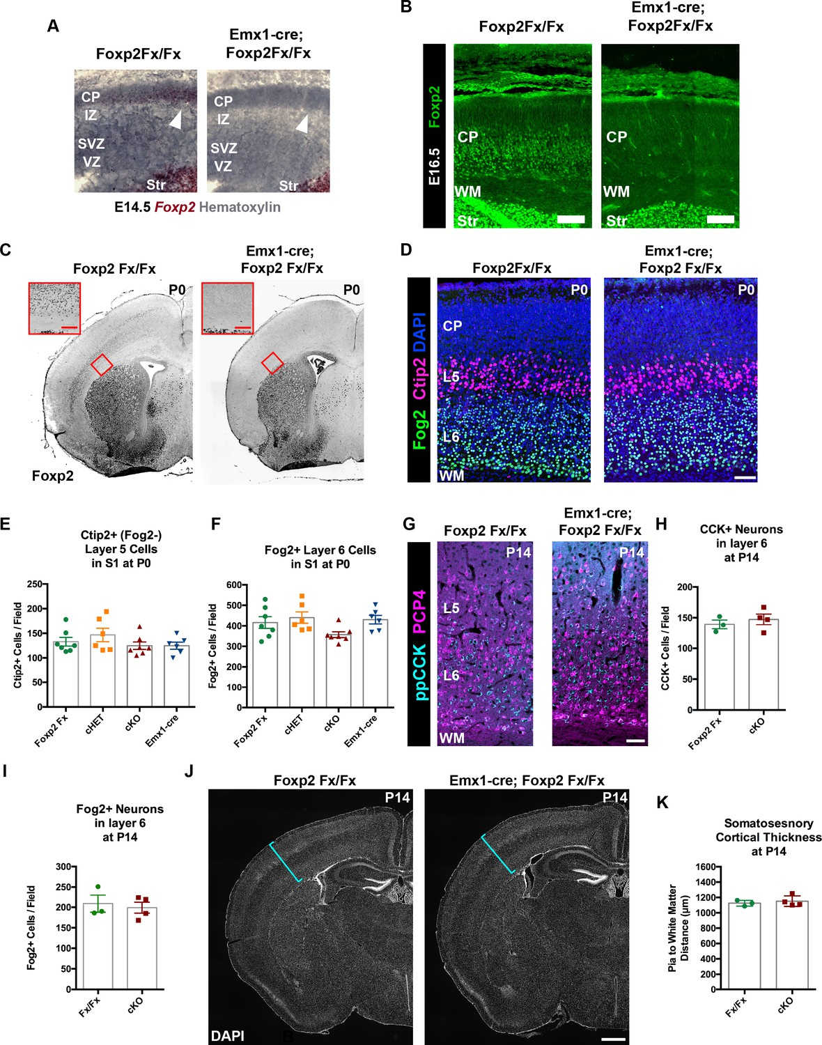 Foxp2 Exhibits Projection Neuron Class Specific Expression