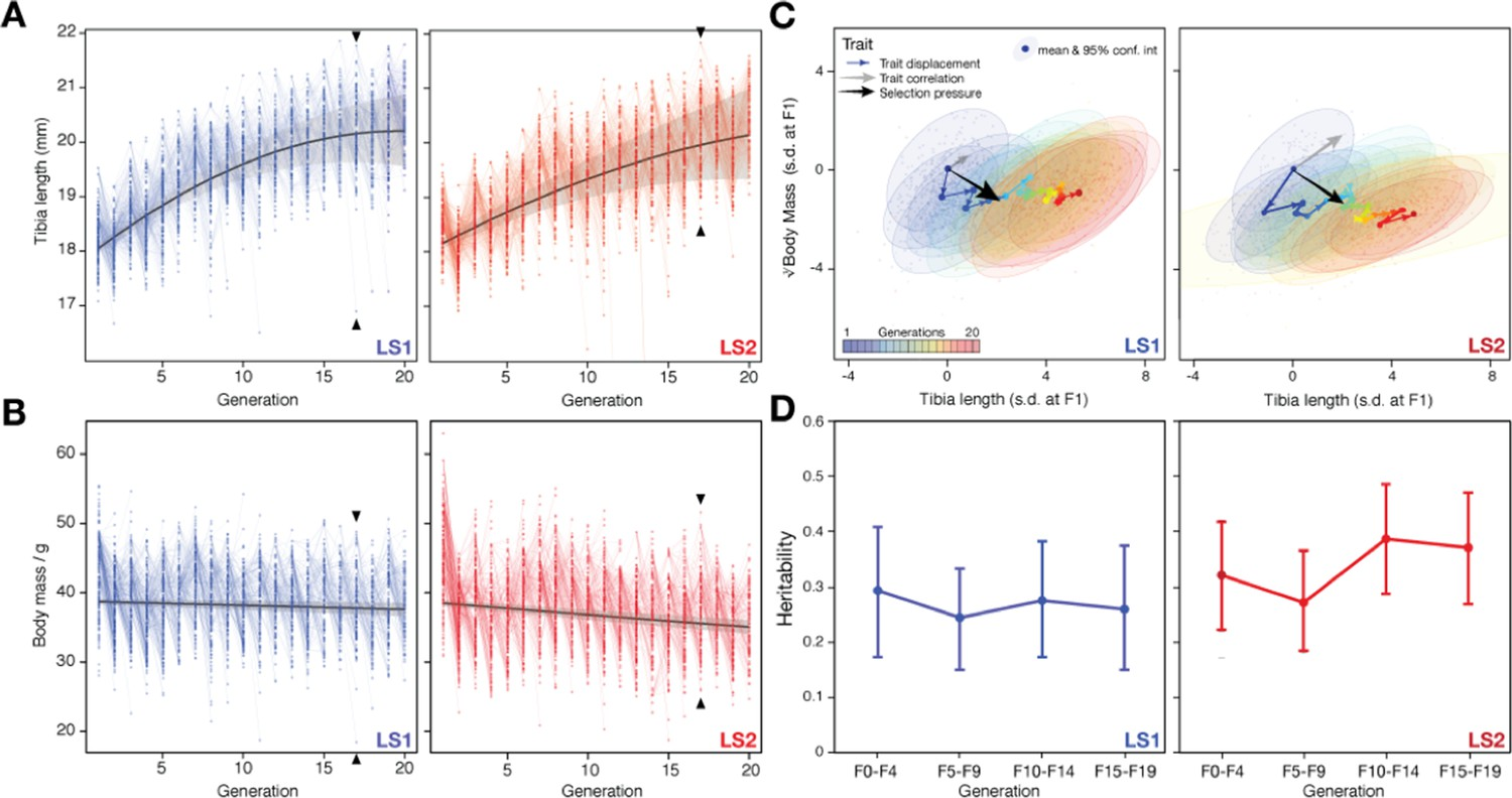 An integrative genomic analysis of the Longshanks selection