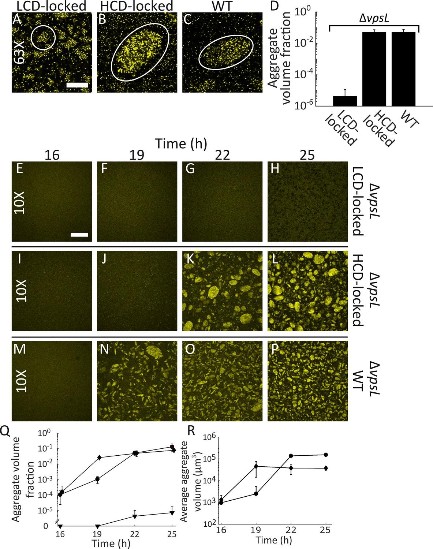 Quorum sensing controls Vibrio cholerae multicellular aggregate
