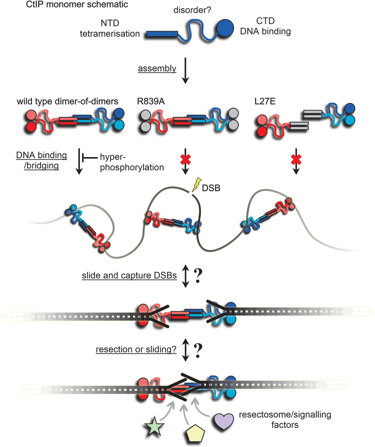 CtIP forms a tetrameric dumbbell-shaped particle which