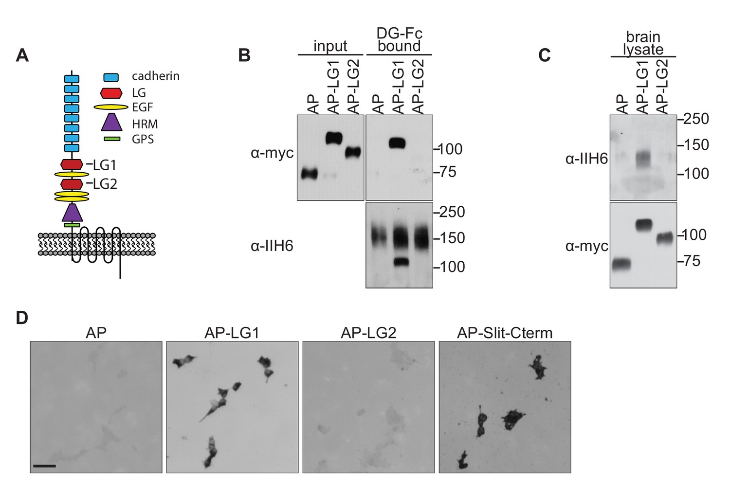 Dystroglycan is a scaffold for extracellular axon guidance decisions