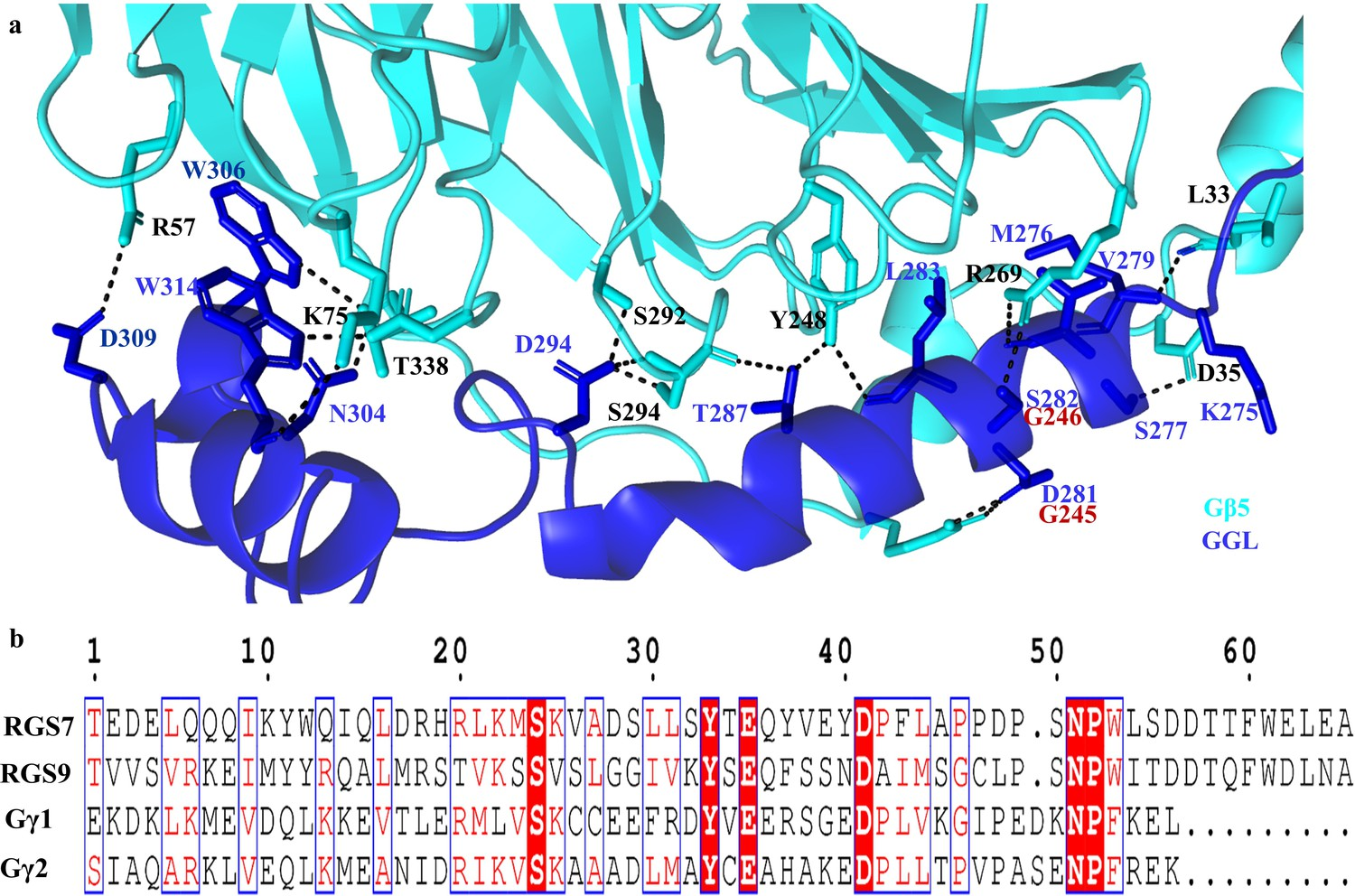 Structural organization of a major neuronal G protein