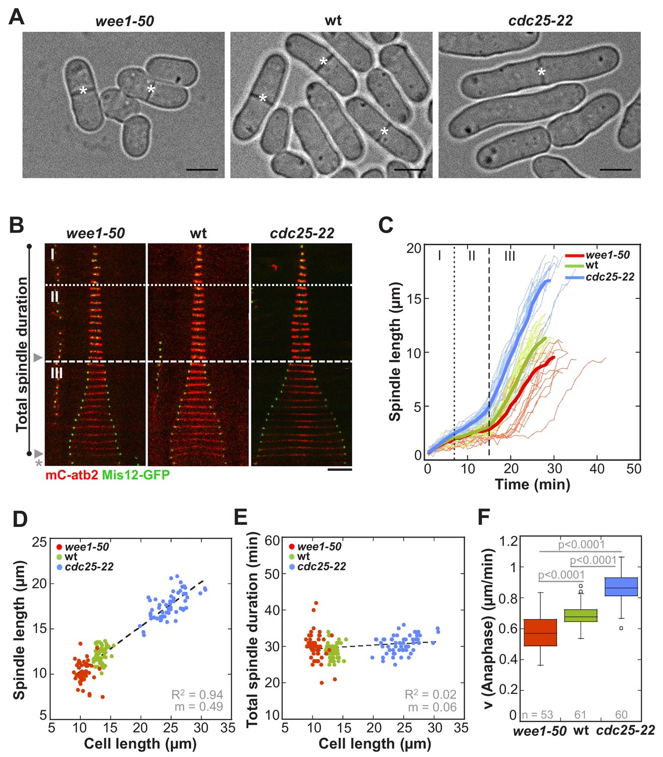 Kinesin-6 regulates cell-size-dependent spindle elongation
