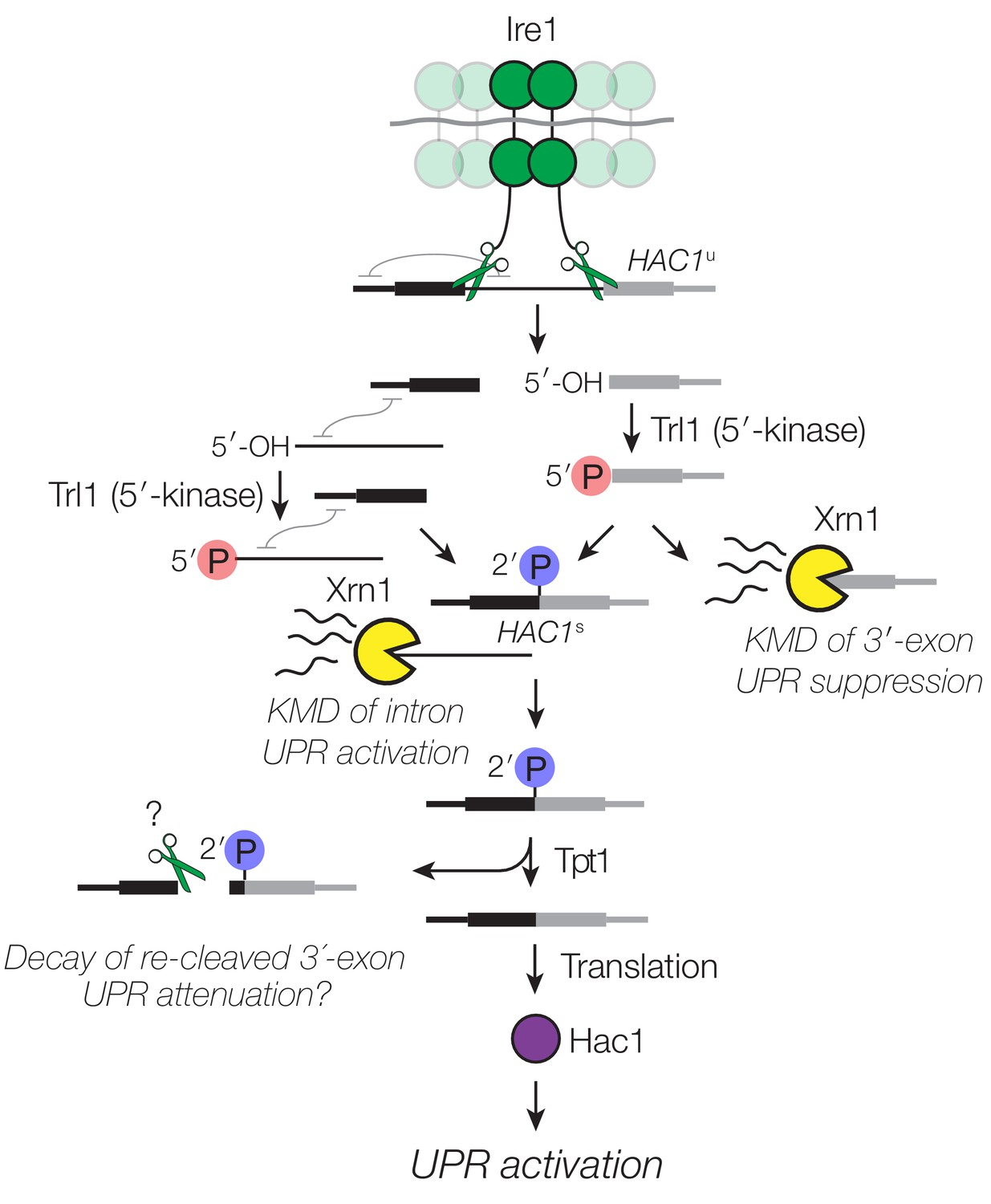 Multiple decay events target HAC1 mRNA during splicing to