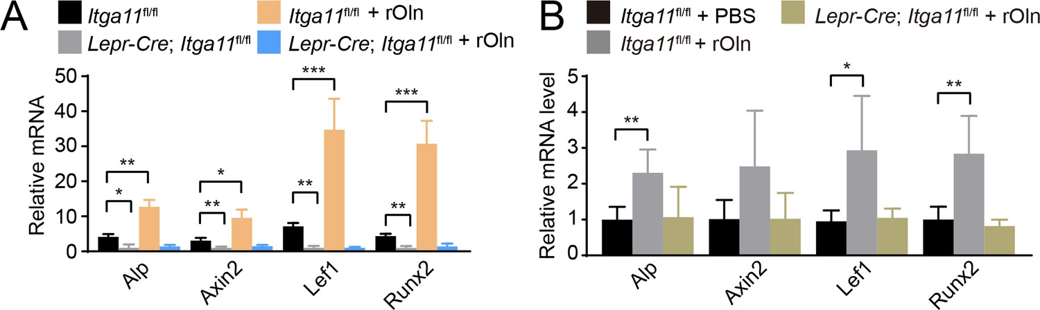 Integrin alpha11 is an Osteolectin receptor and is required