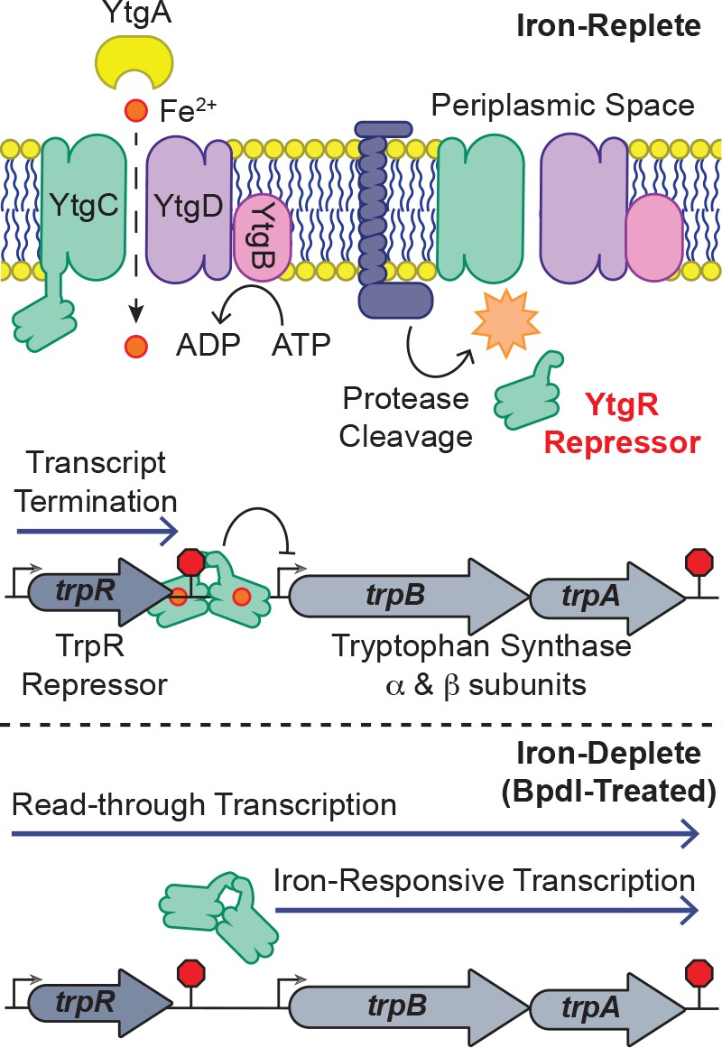 A bipartite iron-dependent transcriptional regulation of the