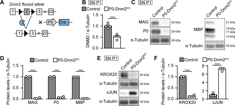 Schwann cells, but not Oligodendrocytes, Depend Strictly on Dynamin