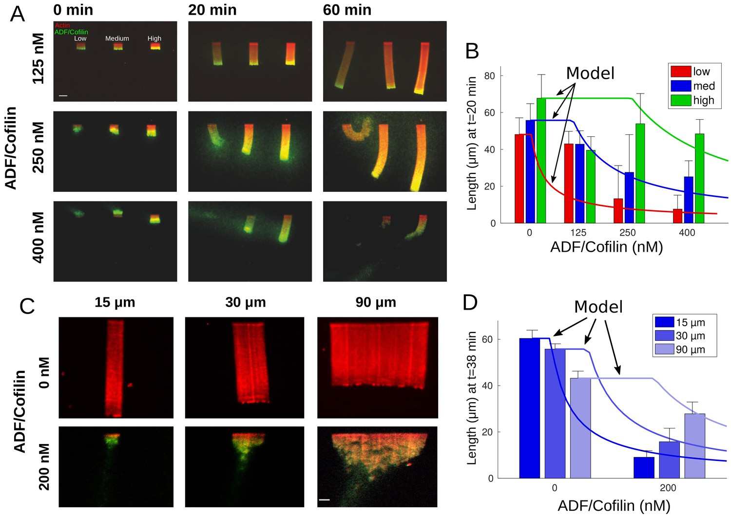 Quantitative regulation of the dynamic steady state of actin