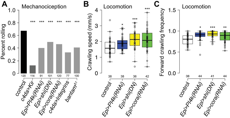 A Conserved Morphogenetic Mechanism For Epidermal