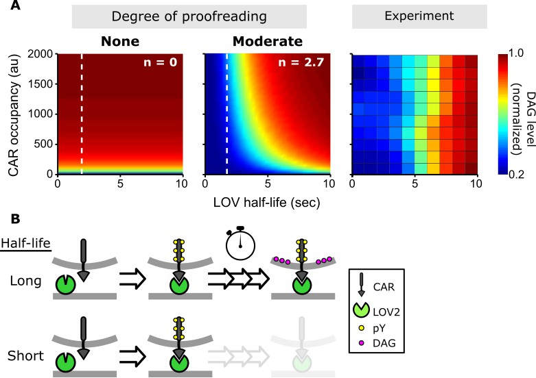 Light-based tuning of ligand half-life supports kinetic proofreading