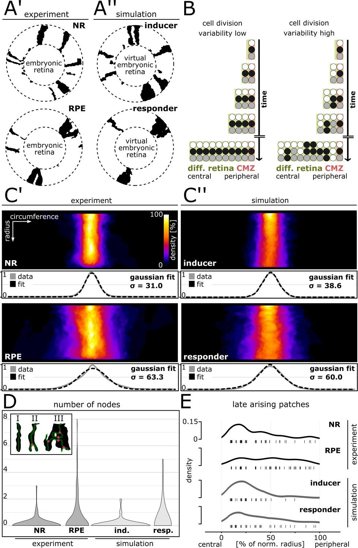 Retinal stem cells modulate proliferative parameters to