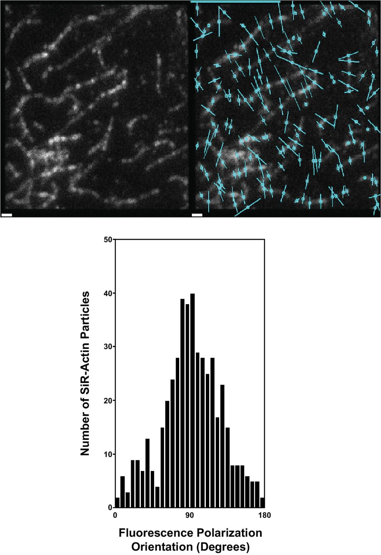 A composition-dependent molecular clutch between T cell