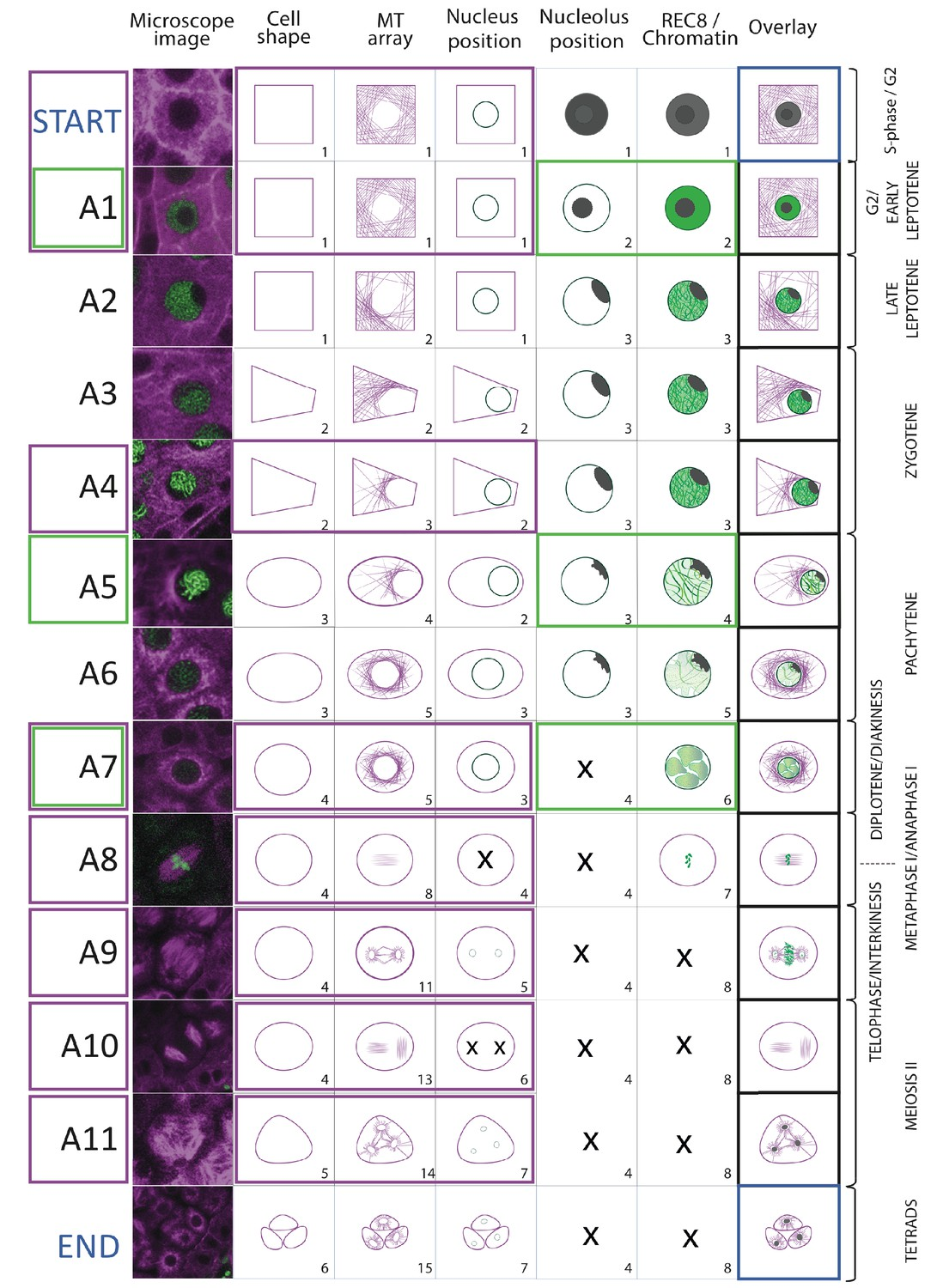 Live cell imaging of meiosis in Arabidopsis thaliana   eLife