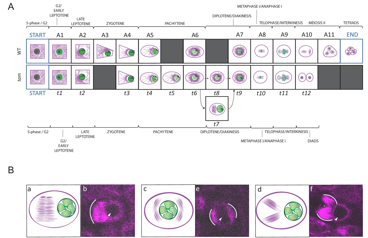 Live cell imaging of meiosis in Arabidopsis thaliana | eLife