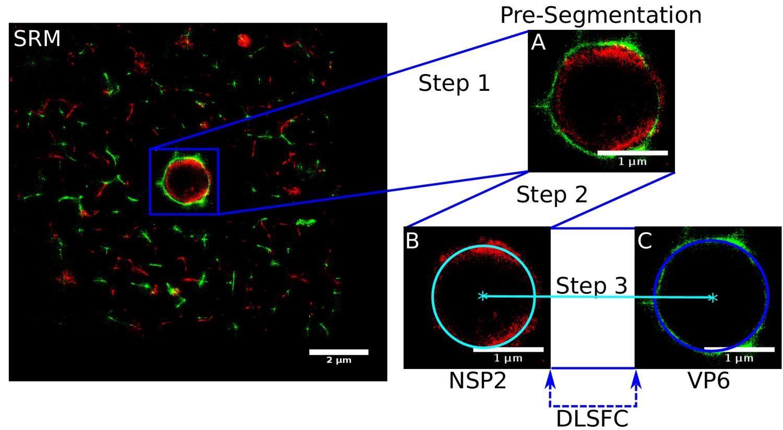 Nanoscale organization of rotavirus replication machineries