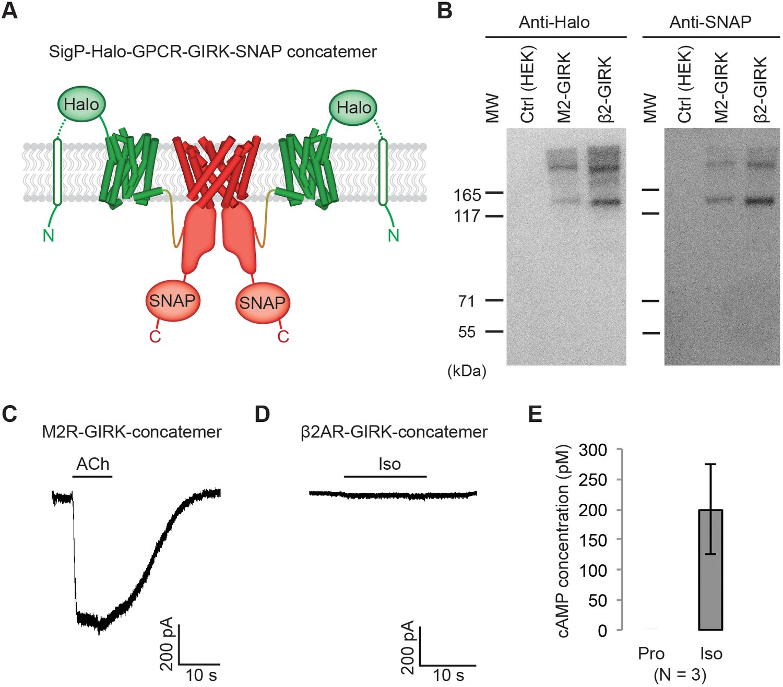 Molecular Basis Of Signaling Specificity Between Girk
