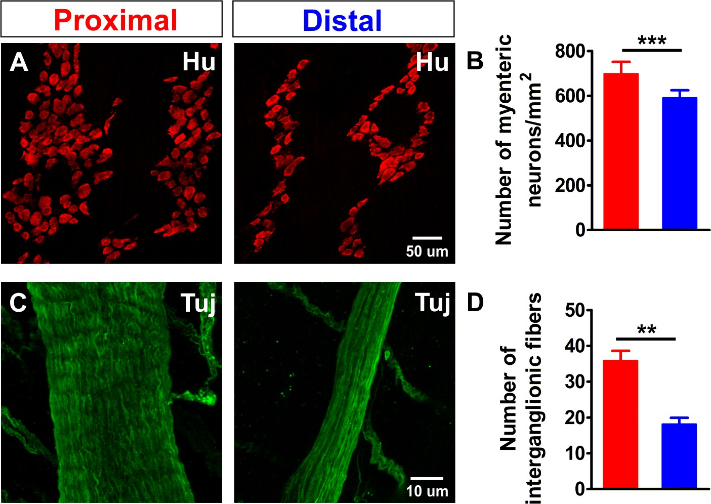 Regional complexity in enteric neuron wiring reflects