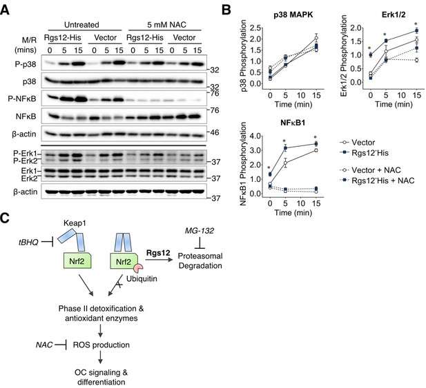 Regulator of G protein signaling 12 enhances