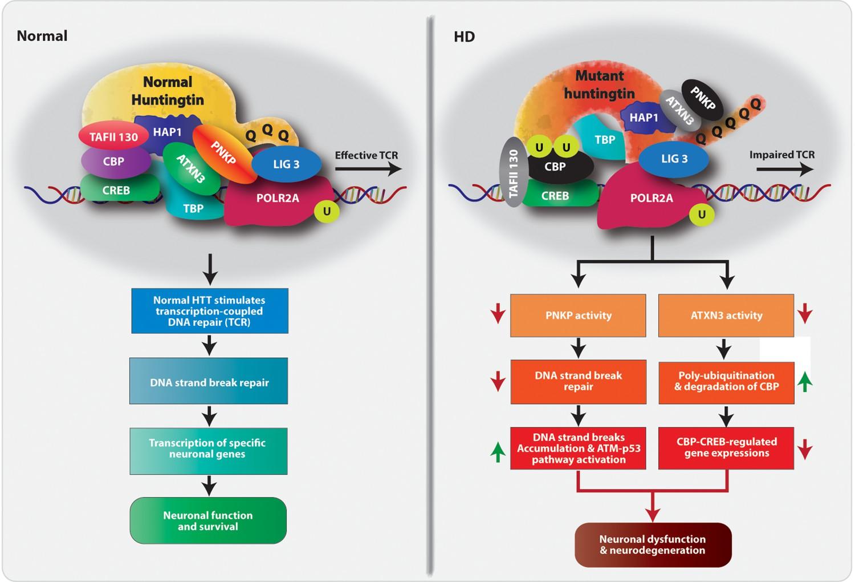 Mutant huntingtin impairs PNKP and ATXN3, disrupting DNA