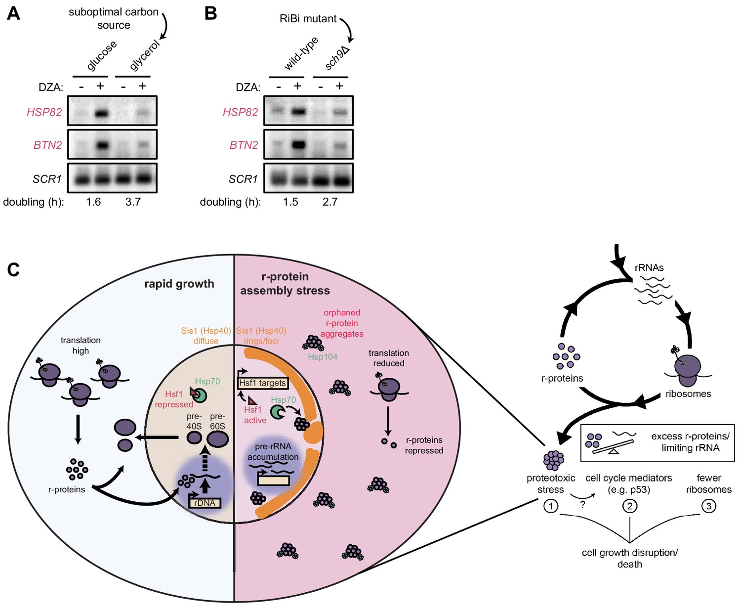 Proteotoxicity from aberrant ribosome biogenesis compromises cell