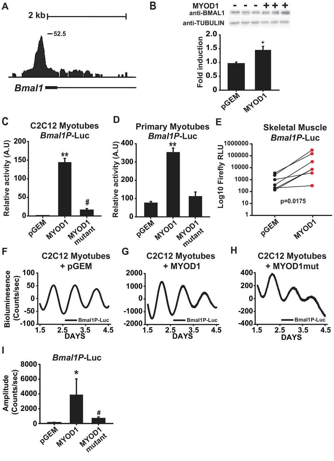 MYOD1 functions as a clock amplifier as well as a critical