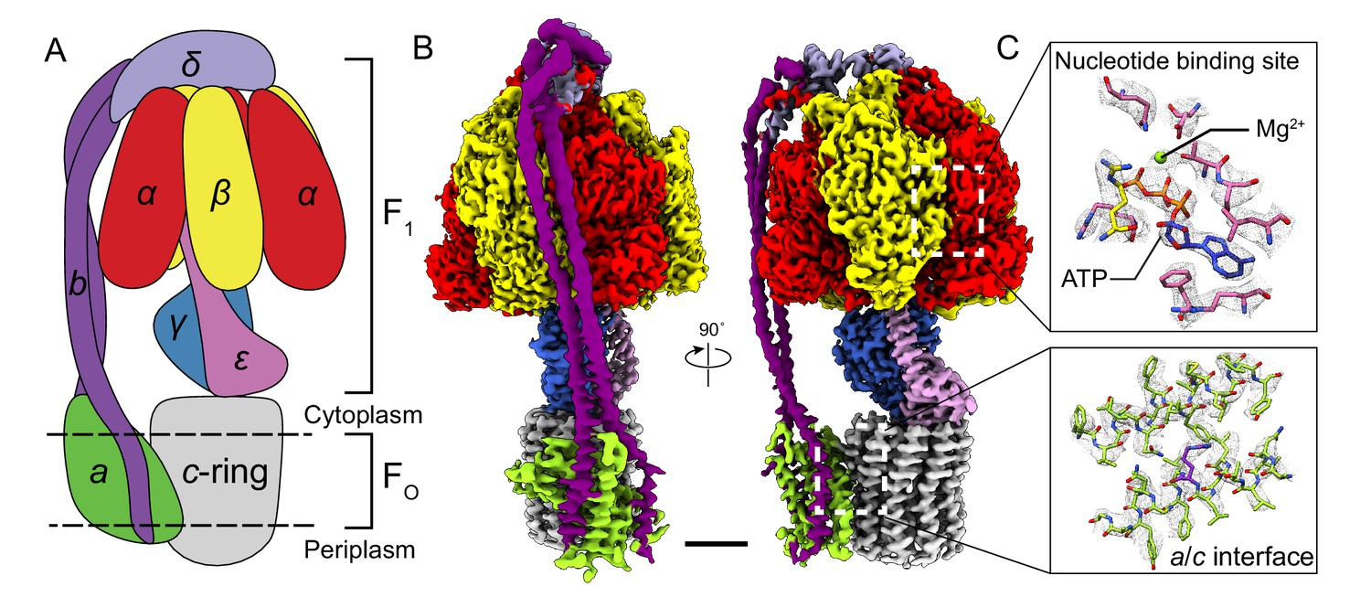 Structure of a bacterial ATP synthase | eLife