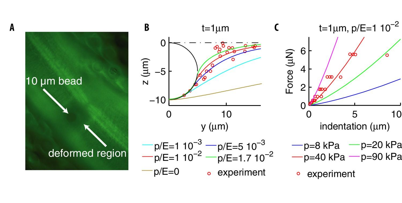 Somatosensory neurons integrate the geometry of skin
