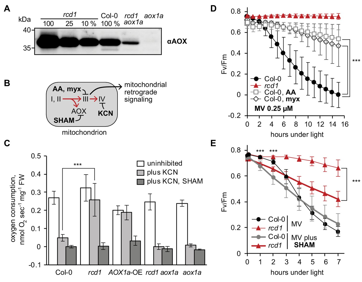 Arabidopsis RCD1 coordinates chloroplast and mitochondrial functions