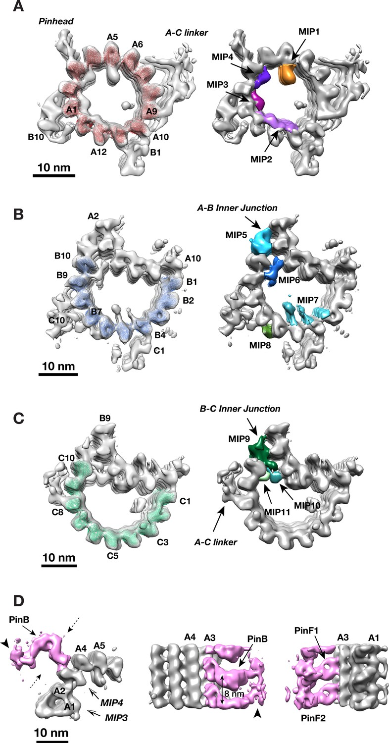 Electron cryo-tomography provides insight into procentriole
