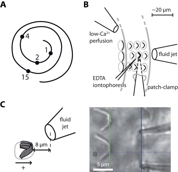 Stiffness and tension gradients of the hair cell's tip-link complex