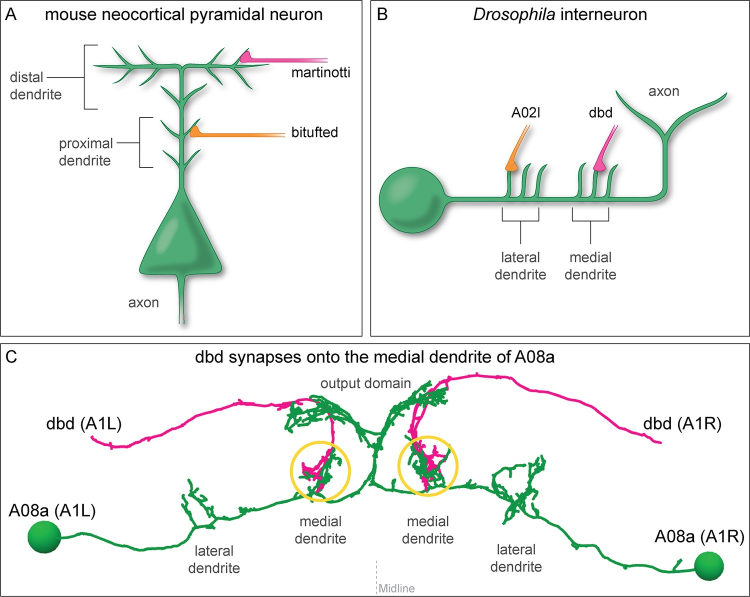 Regulation of subcellular dendritic synapse specificity by