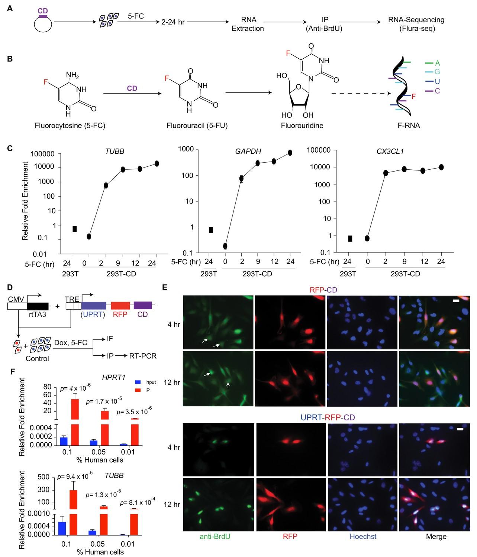 Flura-seq identifies organ-specific metabolic adaptations