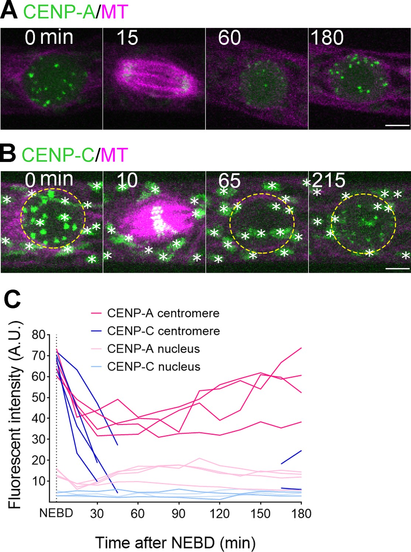 Kinetochore protein depletion underlies cytokinesis failure