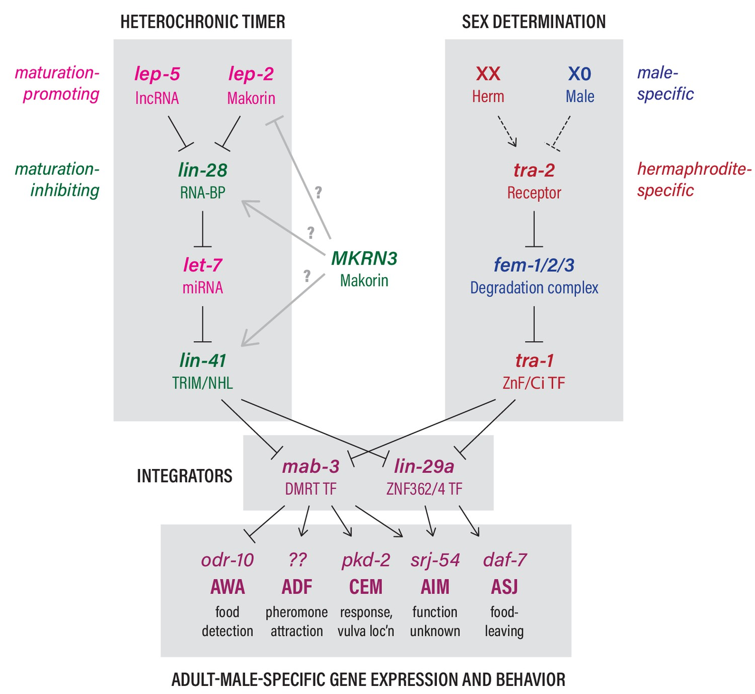 The Makorin lep-2 and the lncRNA lep-5 regulate lin-28 to schedule