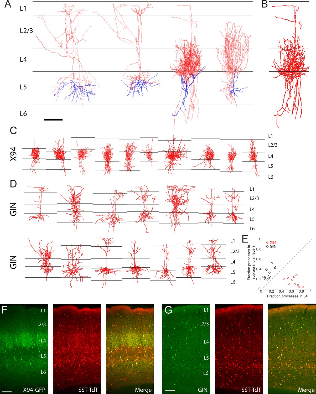 Complementary networks of cortical somatostatin interneurons