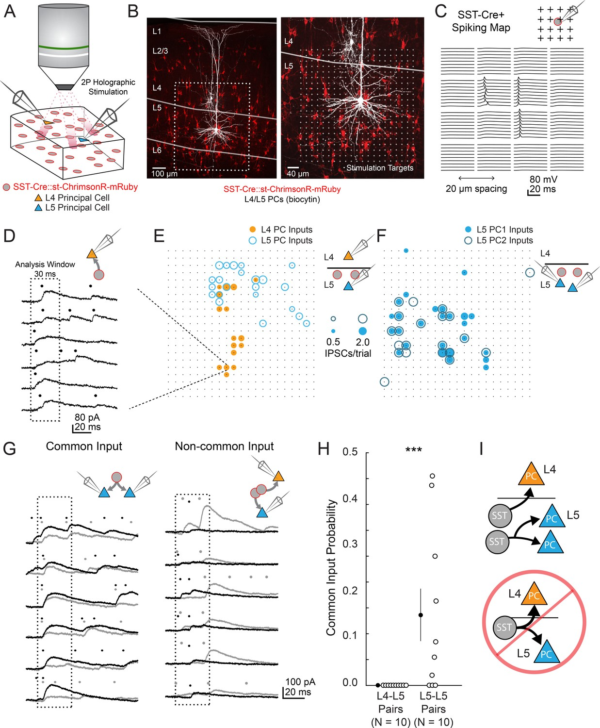 Complementary networks of cortical somatostatin interneurons ... on